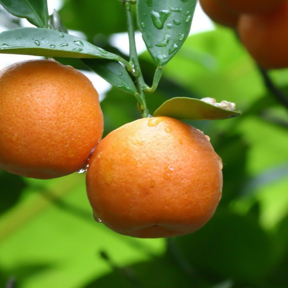 mandarin-tree-5927