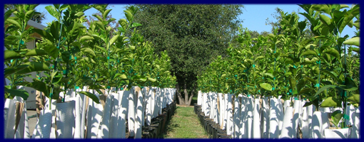 The Trifoliate Also Has Added Benefit Of Making Fruit Grafted Tree More Flavorful