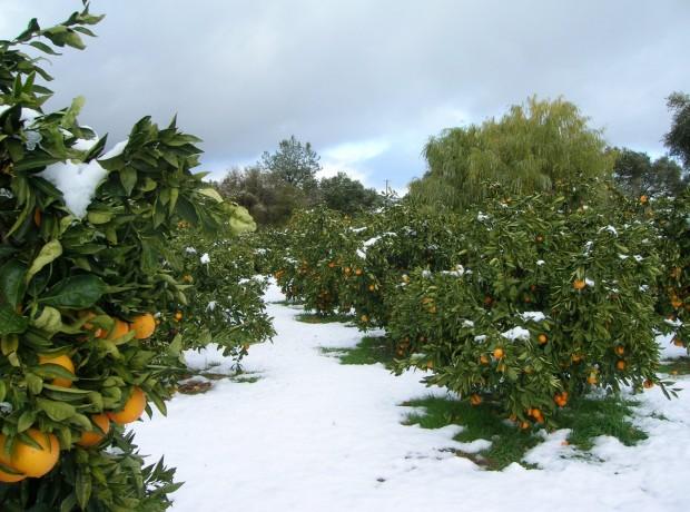 Ice_Cold_Mandarins